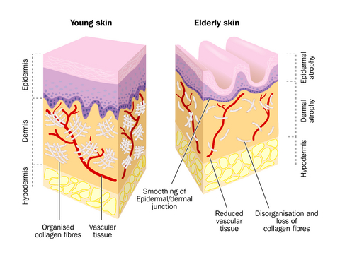 Comparison of Young Skin and Old Skin